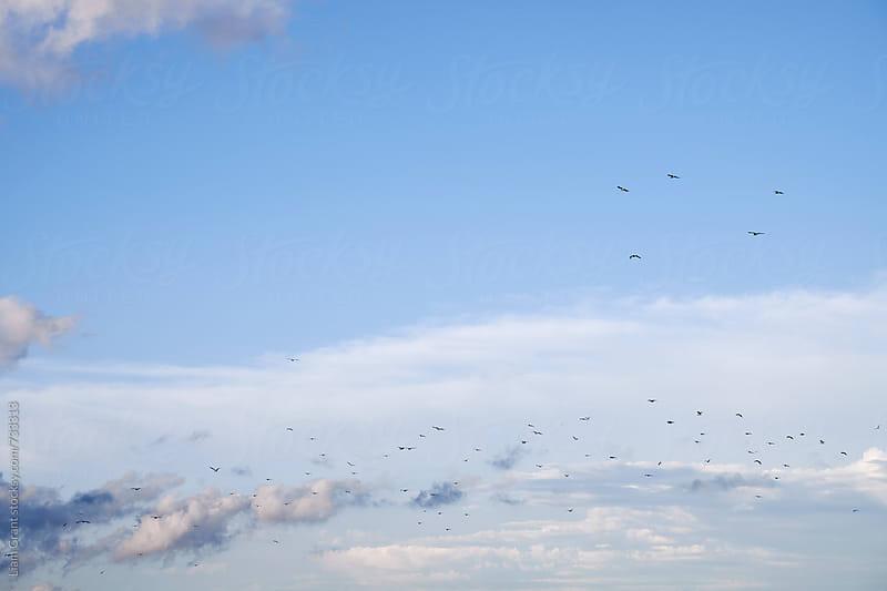 Flock of gulls flying at sunset. Norfolk, UK. by Liam Grant for Stocksy United