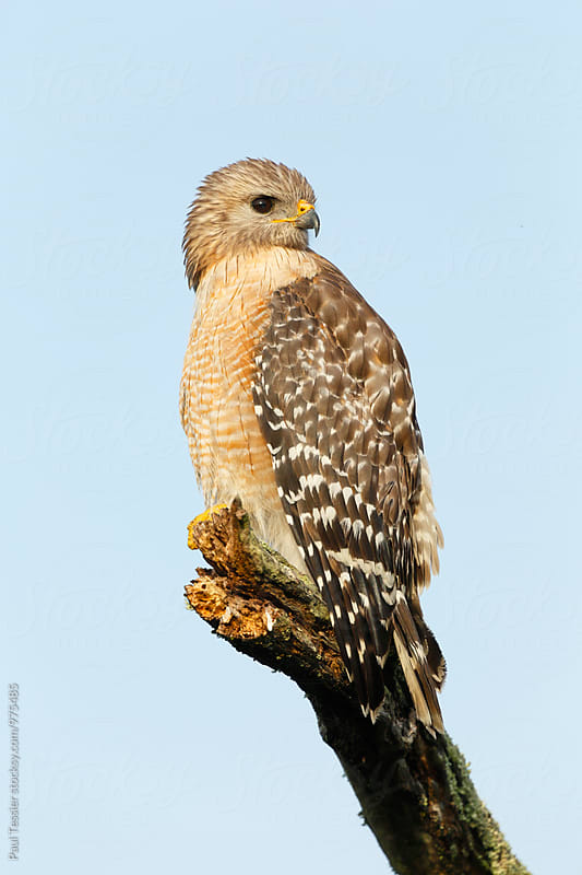 Red-shouldered Hawk by Paul Tessier for Stocksy United