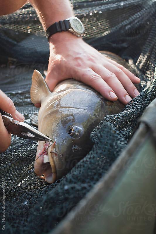 Man unhooking a carp fish by Koen Meershoek for Stocksy United