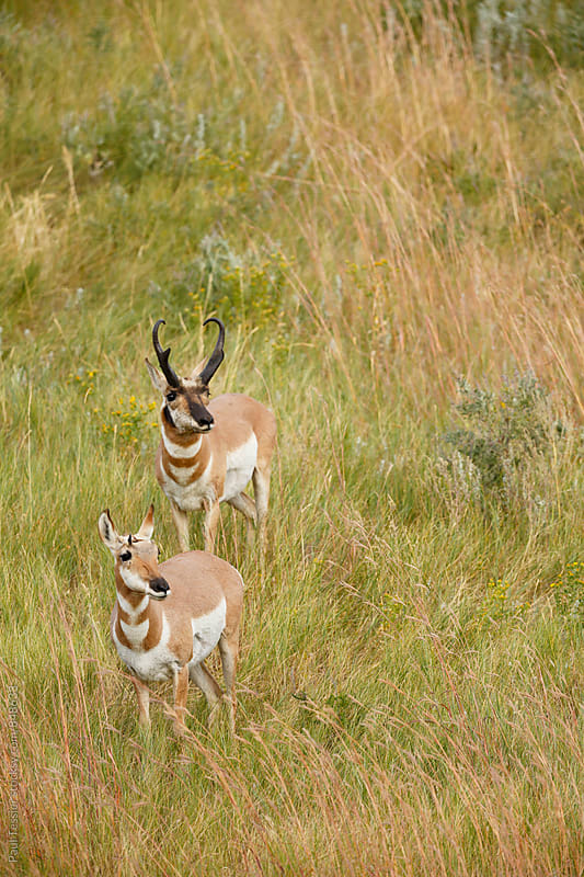 Two Pronghorn Antelope by Paul Tessier for Stocksy United