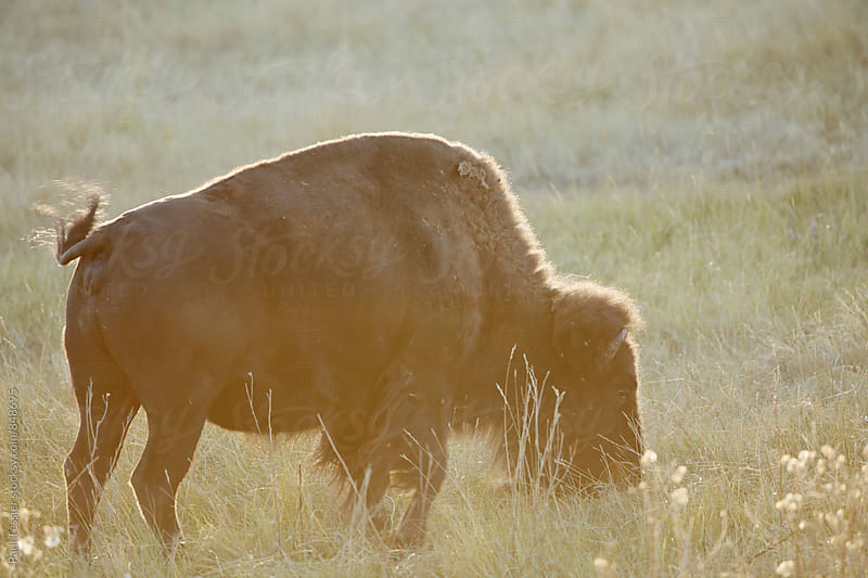 Bison by Paul Tessier for Stocksy United