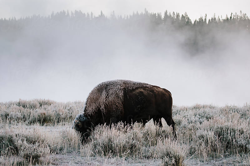 Bison on a cold morning by Gary Parker for Stocksy United