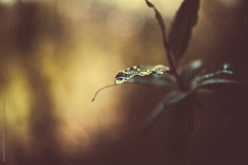 raindrops on green leaves by Samantha Wesselhoft for Stocksy United