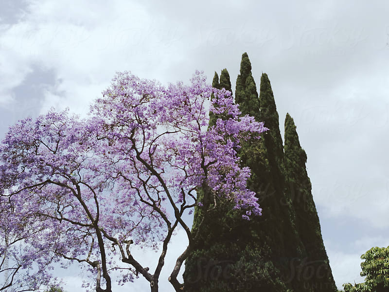 Jacaranda Tree by Kevin Russ for Stocksy United