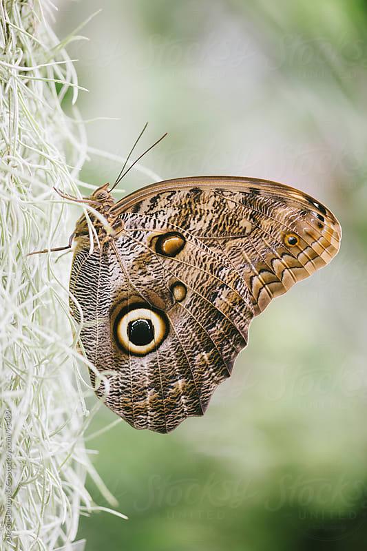 Butterfly Caligo Eurilochus by Urs Siedentop & Co for Stocksy United
