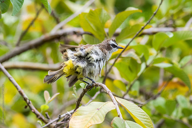 Yellow-vented bulbul  by Song Heming for Stocksy United