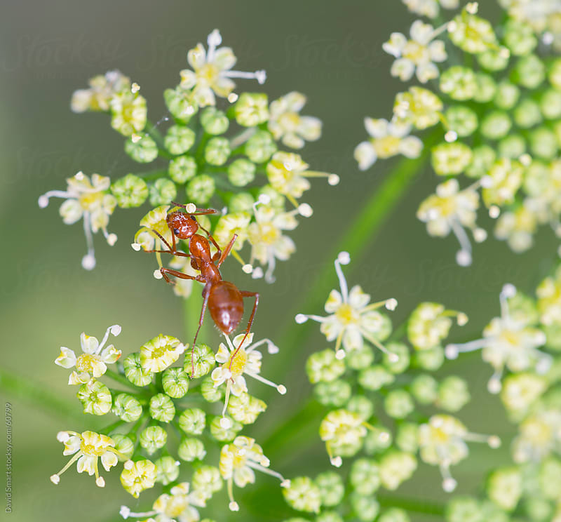 A red ant eating pollen from parsley flowers by David Smart for Stocksy United