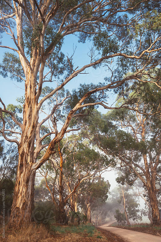 tall gum trees, morning fog and a dirt country road in rural Australia by Gillian Vann for Stocksy United