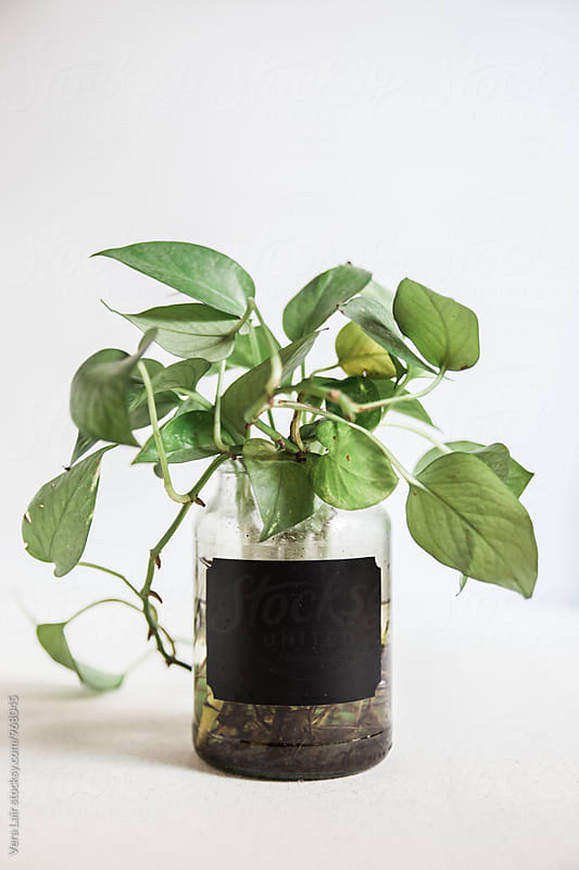 Climbing plant in a jar by Vera Lair for Stocksy United