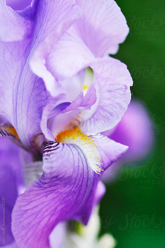 Oh spring! Extreme close-up of purple Iris flower in bloom by Laura Stolfi for Stocksy United