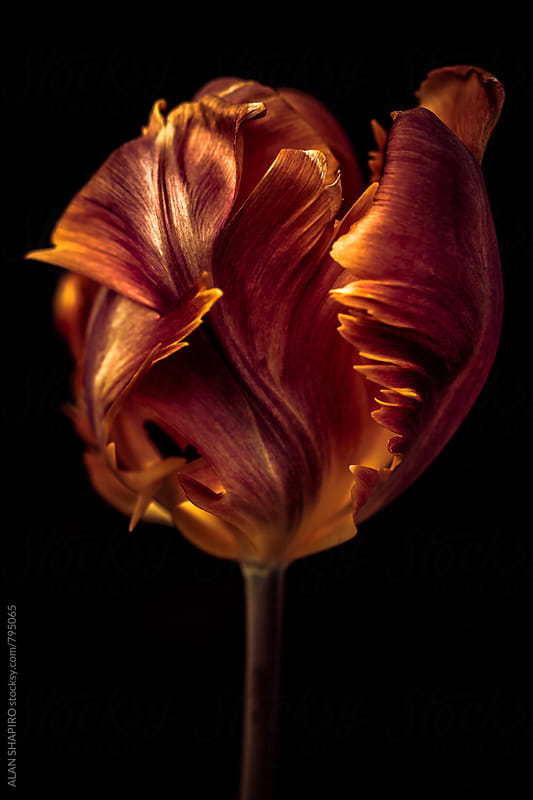 parrot tulip by alan shapiro for Stocksy United