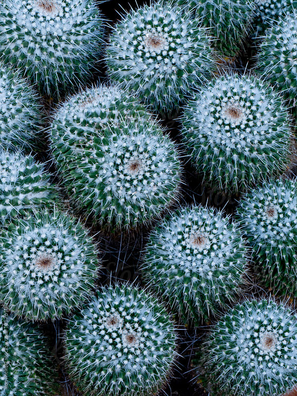 Pincushion cactii (Mammillaria sp.) from above by Ron Mellott for Stocksy United