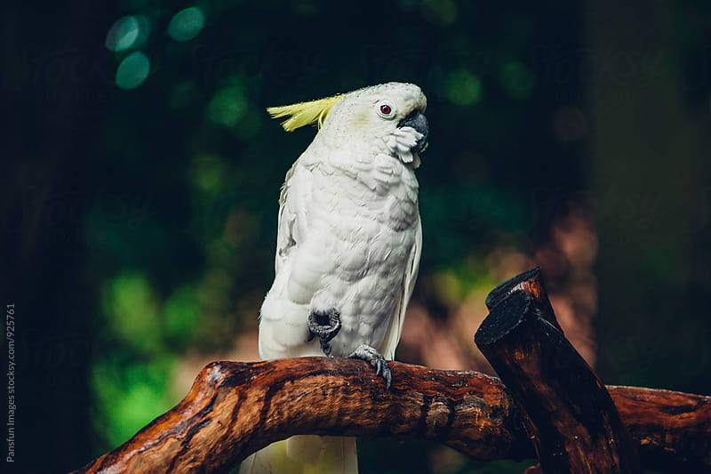 white parrot  by Pansfun Images for Stocksy United