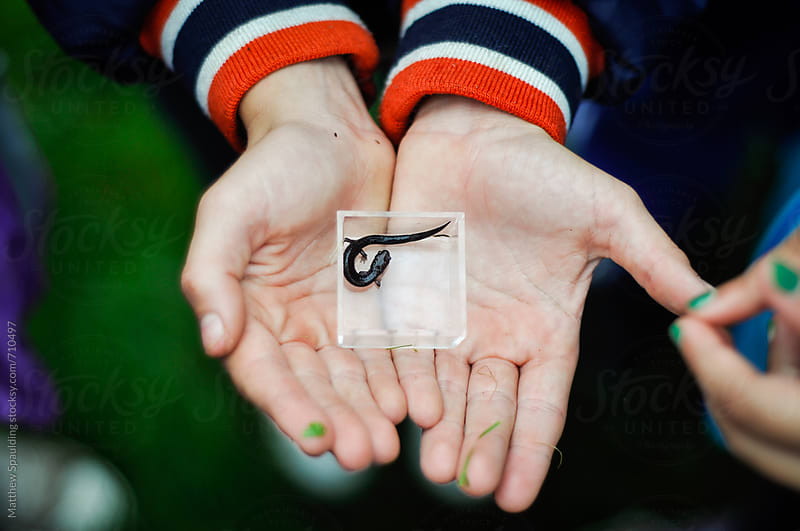 Small salamander in box child hands by Matthew Spaulding for Stocksy United