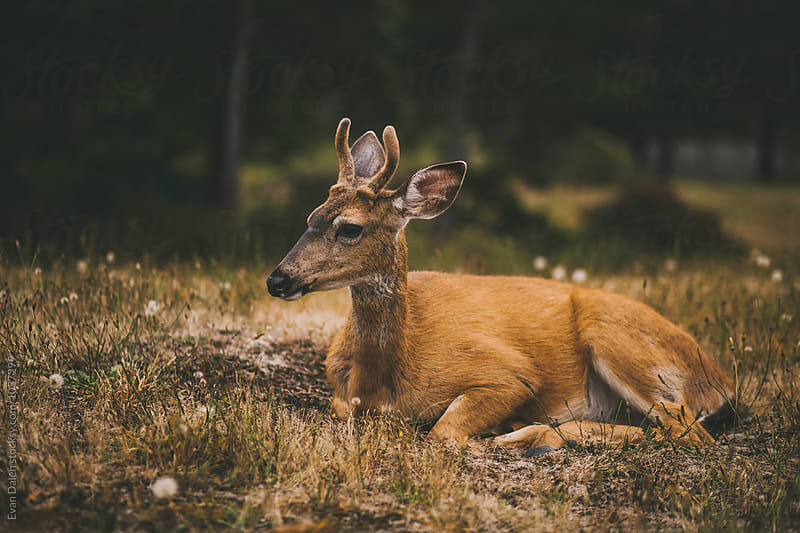 Young Buck Deer Bedding Down in Meadow by Evan Dalen for Stocksy United