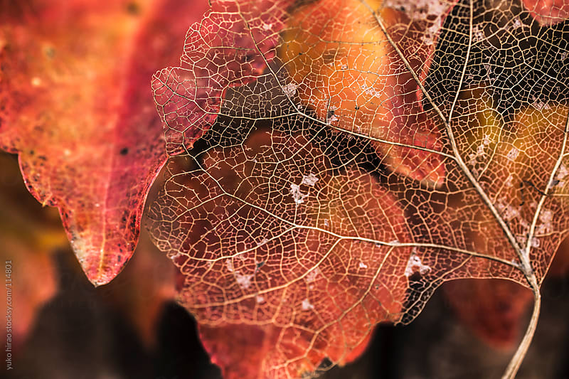 Autumn leaf background with a beautiful skeleton leaf by yuko hirao for Stocksy United