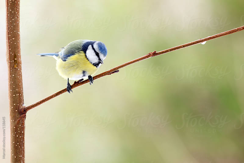 Blue tit bird perching on a branch of a tree by Marcel for Stocksy United