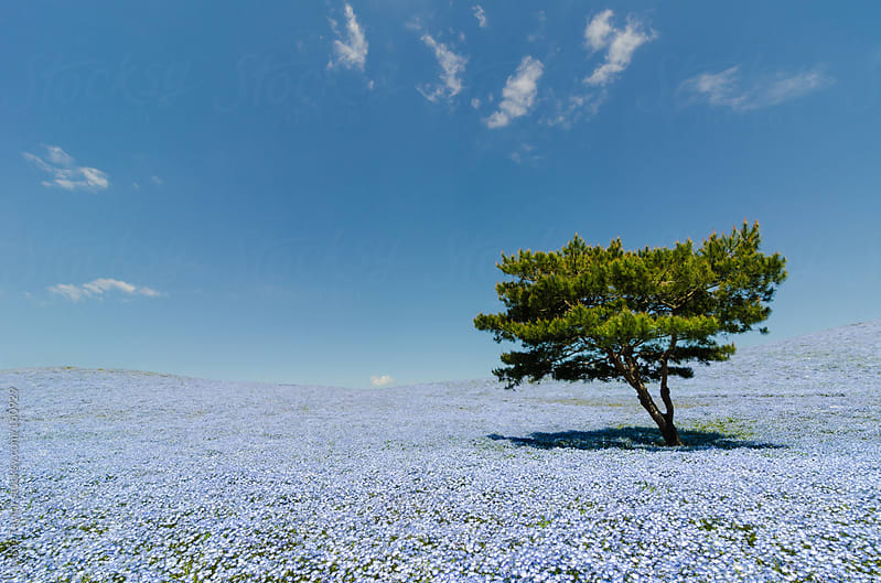 Green Tree In A Field of Blue Nemophilia by Leslie Taylor for Stocksy United