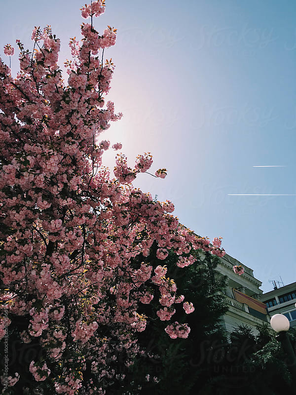 Pink blossom on the street by Maja Topcagic for Stocksy United
