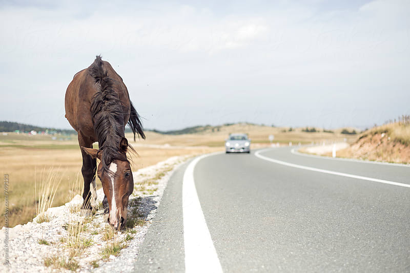 Wild horse standing next to the road while car is passing by Jovana Milanko for Stocksy United