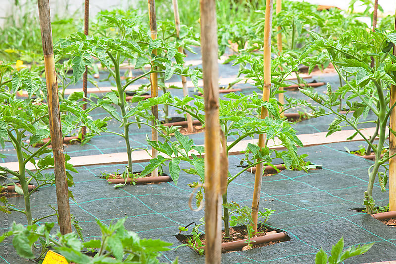 Tomato plants in orchard. by BONNINSTUDIO for Stocksy United