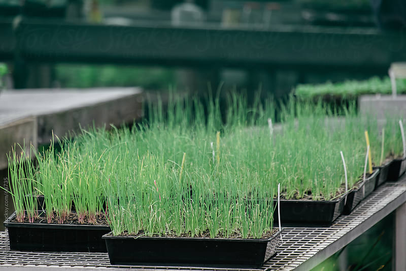 Organic Seedlings in a Plant Nursery by Rowena Naylor for Stocksy United