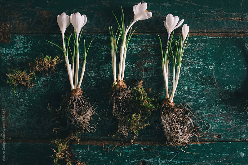 Spring white crocuses on green wooden table by Adrian Cotiga for Stocksy United