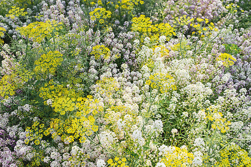 Alyssum and  and flowering dill plant by Preappy for Stocksy United