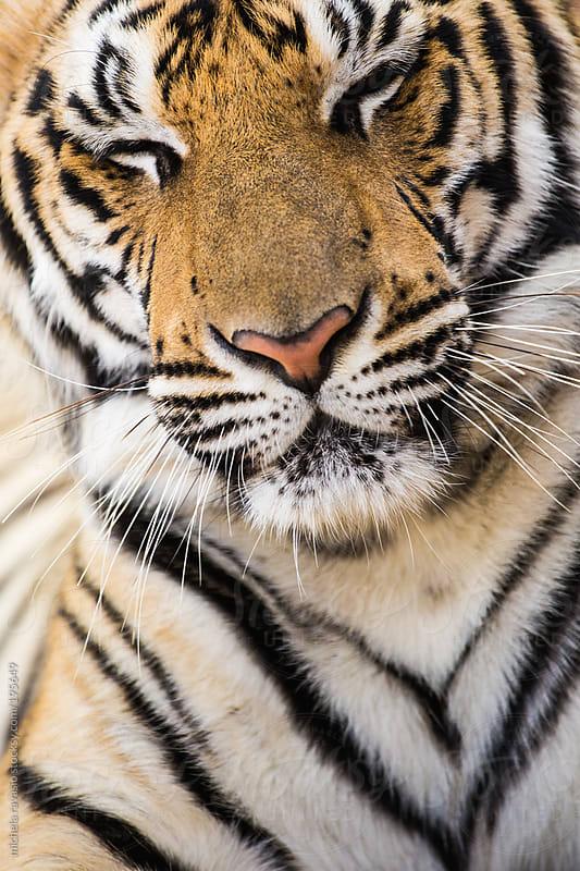 Tiger by michela ravasio for Stocksy United