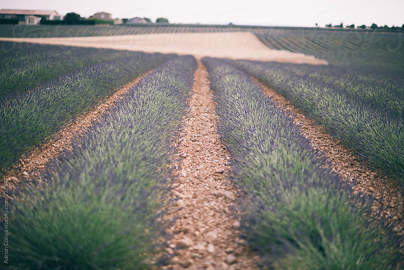 Lavender field by Adrian Cotiga for Stocksy United