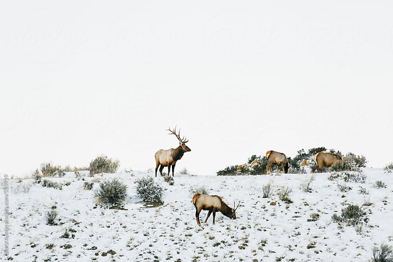 Elk On A Snow Covered Hill In Winter by Laura Austin for Stocksy United