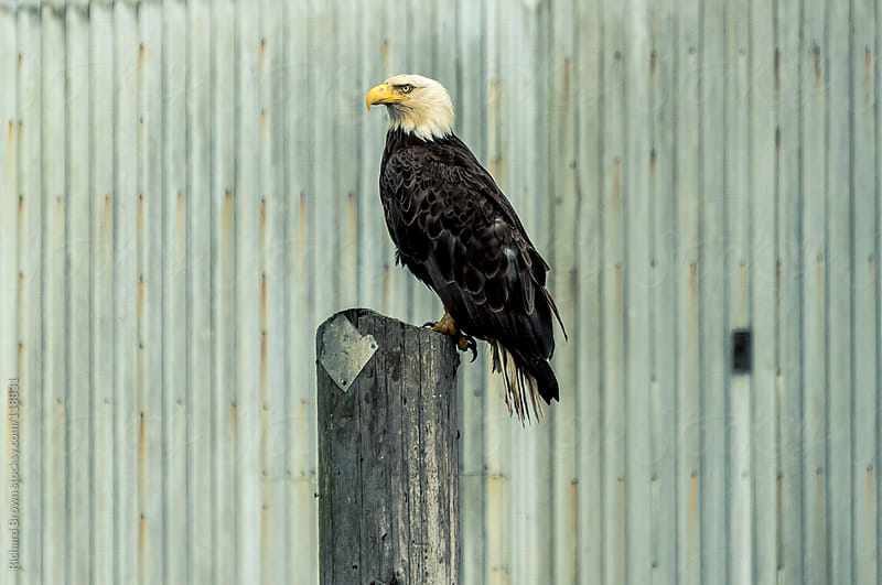 Bald eagle resting on a pole by Richard Brown for Stocksy United