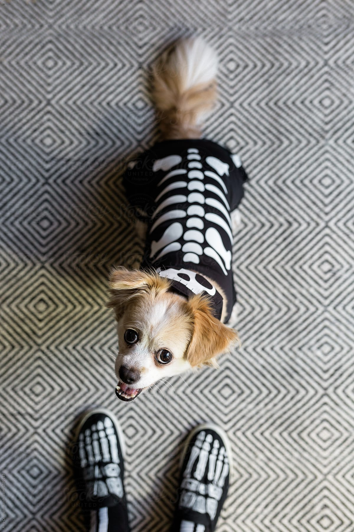 A Cute Dog Dressed Up As A Skeleton For Halloween Stocksy United