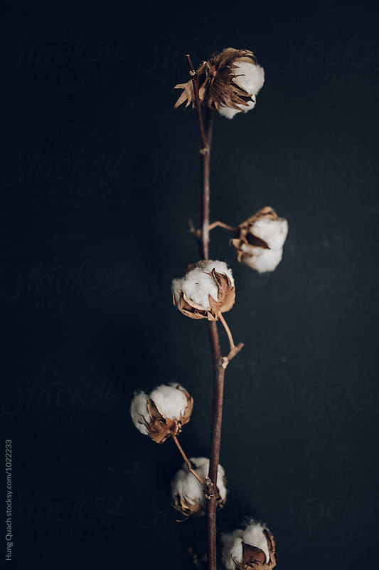 Raw Cotton Branch by Hung Quach for Stocksy United