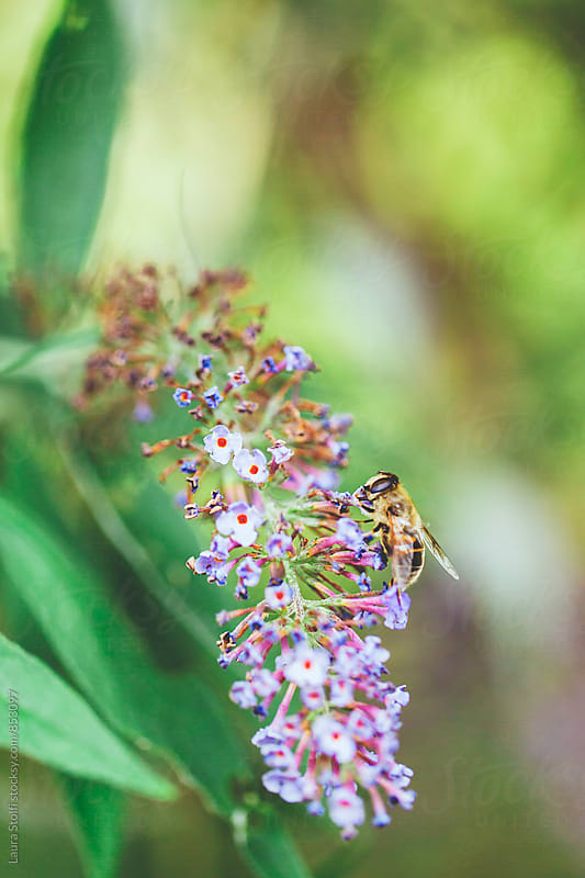 Bee pollinating purple buddleja spiked inflorescence by Laura Stolfi for Stocksy United