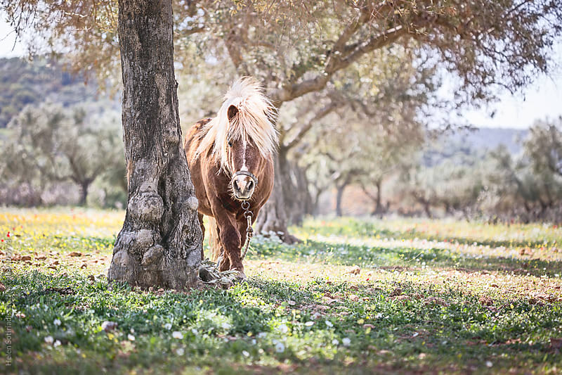 A Pony in an Olive Orchard by Helen Sotiriadis for Stocksy United