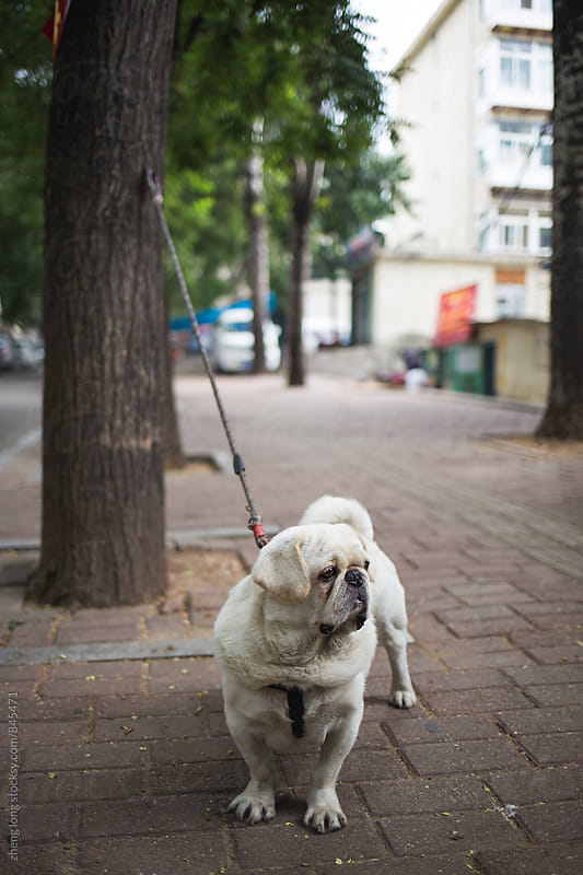 Pug by zheng long for Stocksy United