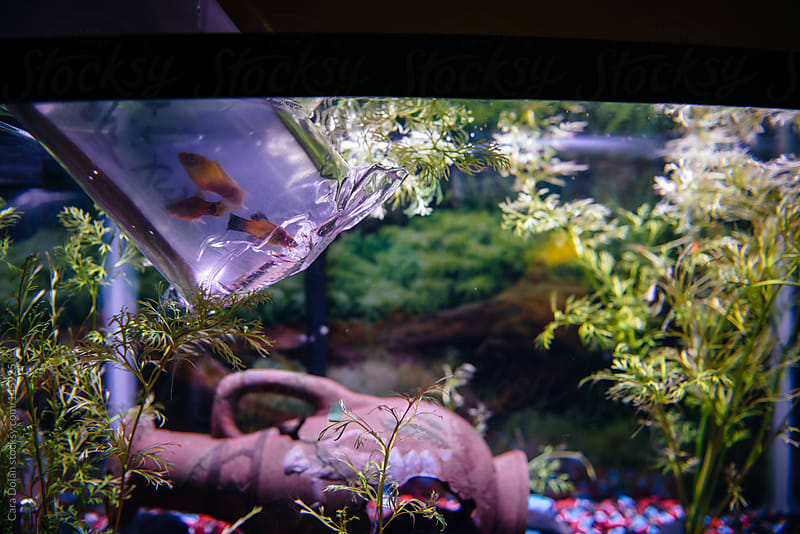 Fish tank at home with three new fish, ready to be released  by Cara Dolan for Stocksy United