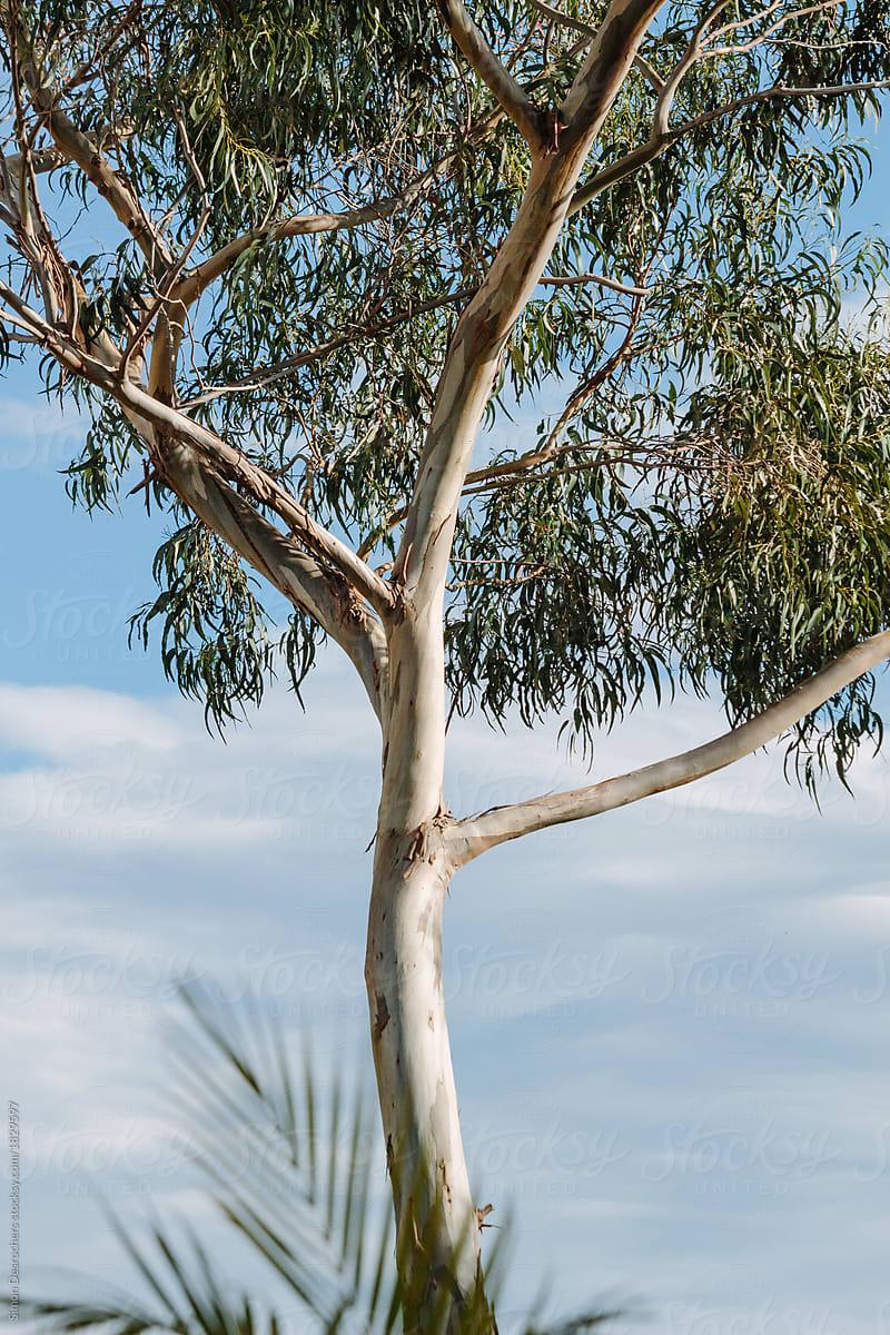 eucalyptus tree in madeira