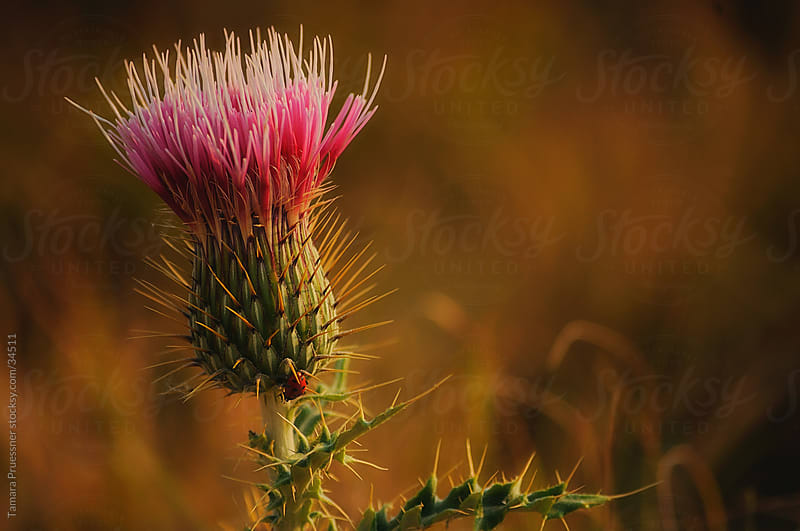 Desert Thistle With Ladybug by Tamara Pruessner for Stocksy United