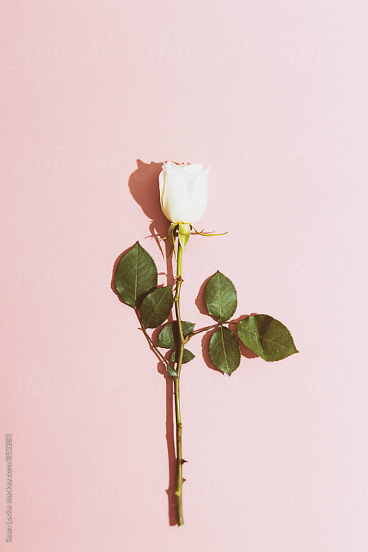 Valentine: White Rose On Pink Background With Heavy Shadow by Sean Locke for Stocksy United
