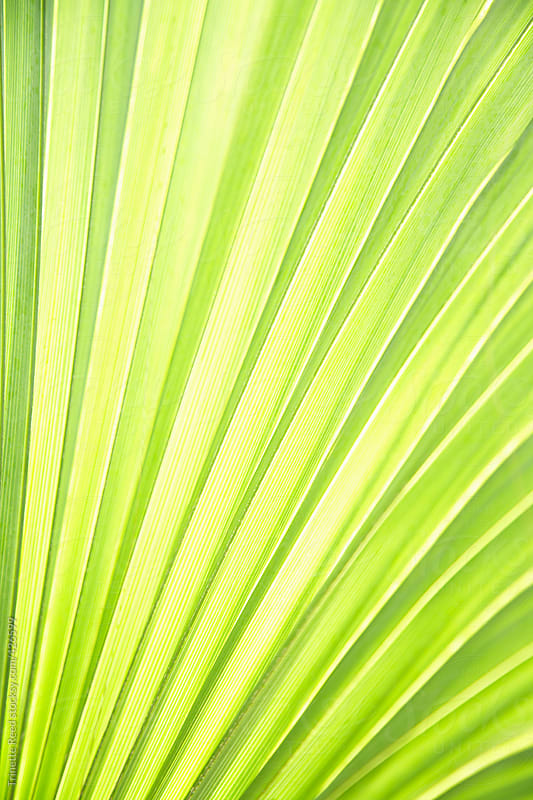 Close up detail of palm frond  by Trinette Reed for Stocksy United