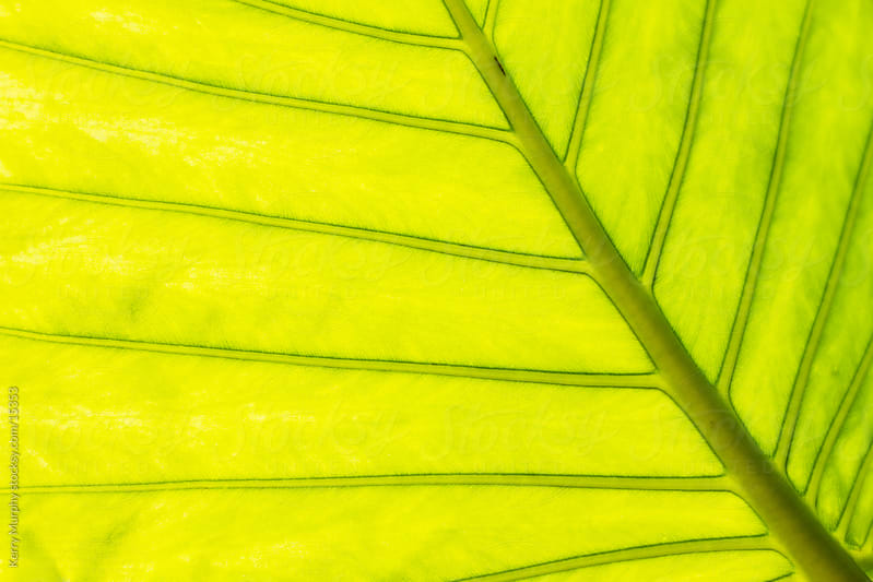 Macro of green leaf veins by Kerry Murphy for Stocksy United