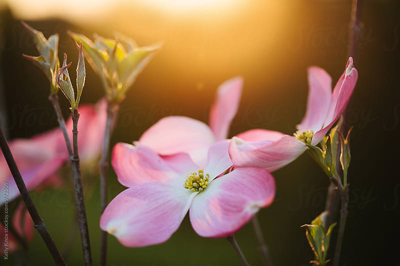 pink dogwood blossoms at sunset by Kelly Knox for Stocksy United