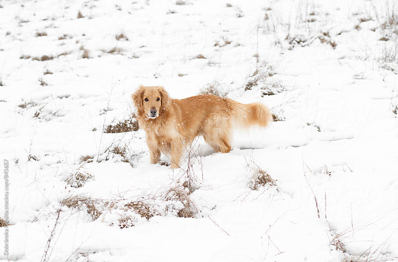 Dog in freshly fallen snow by Dobránska Renáta for Stocksy United