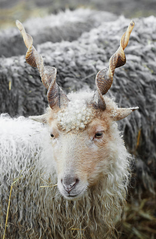 Hungarian Racka Sheep by Dobránska Renáta for Stocksy United