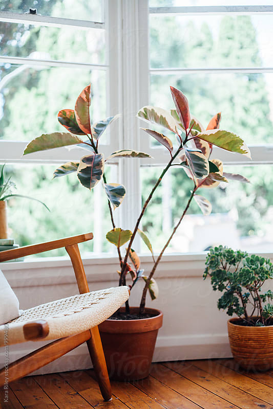 Rubber Plant next to window in living room by Kara Riley for Stocksy United