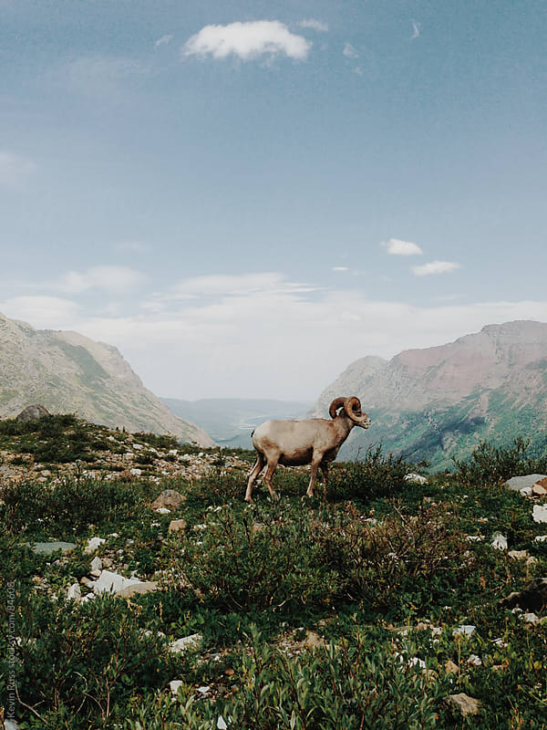 Bighorn Sheep on Mountain by Kevin Russ for Stocksy United
