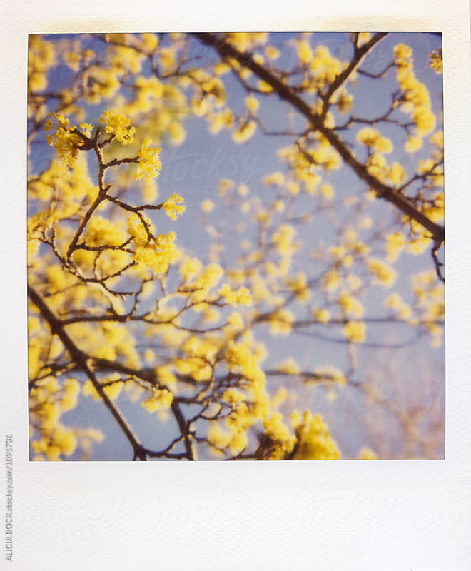 New Growth On A Spring Tree Photographed With Expired Polaroid Film by ALICIA BOCK for Stocksy United
