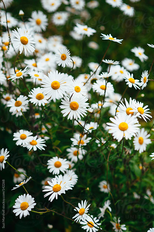 Oxeye daisy by Suzi Marshall for Stocksy United